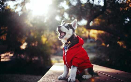 хаски, щенок, собака Фон № 78840 разрешение 1920x1200