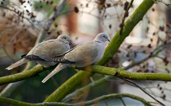 голуби, голубь, птицы, пара, взгляд, branch, категории, ветке, птица, подобраны,