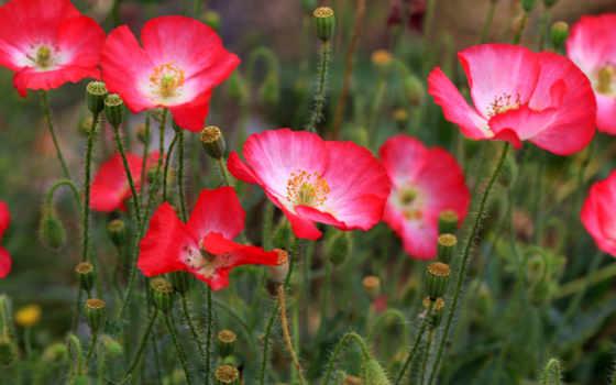 цветы, маки, поле, природа, розовые, flowers, полевые, луговые,