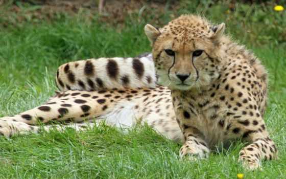 guepardos, гепард, parede,