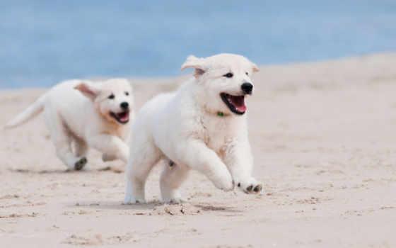 щенки, собаки, овчарка, немецкая, картинка, пляж, песок, два, белых, white, щенка,
