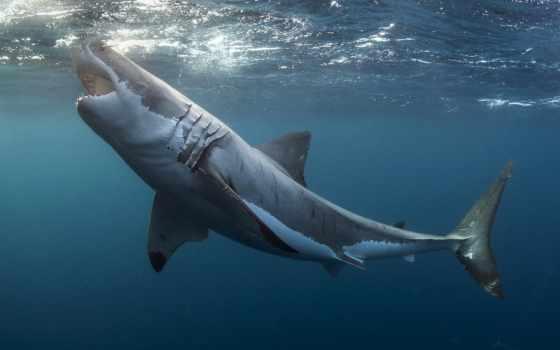 animal, курс, white, great, акула