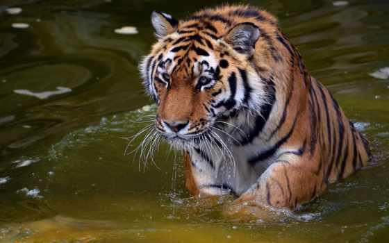 tiger, вода