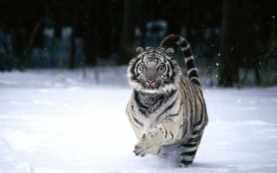 тигр, снегу, white