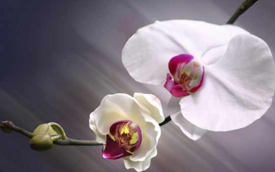 орхидеи, cvety, орхидея