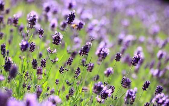 iphone, зелёный, поле, букет, сиреневые, cvety, lavender, фиолетовые,