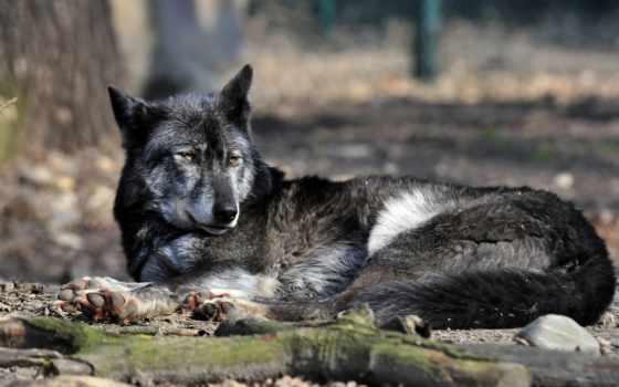 волк, images, desktop