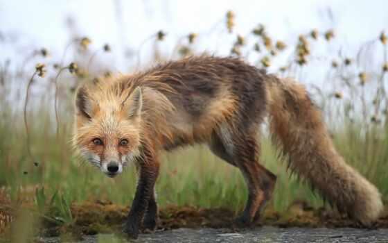 animal, фокс, природа, red, fore, животное, кот, пользовател, одежда, море, one