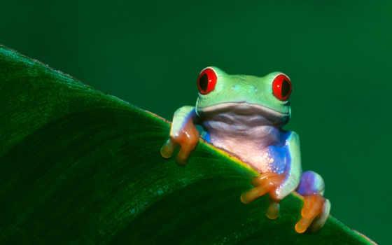 frog, leaf, red, eyed, الضفادع, картинку, desktop,