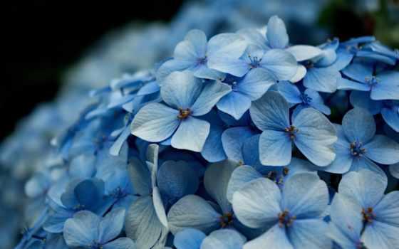 гортензия, цветы, макро