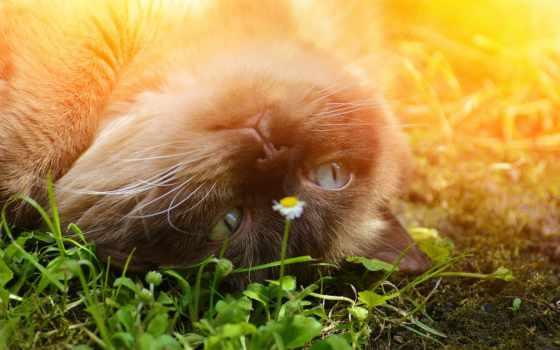 cvety, zhivotnye, кот, лучшая, коллекция, природа, кошки, уже, британская, загружено,