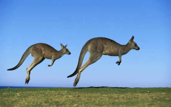 австралии, австралия, kangaroo, zhivotnye, животных, wombat,