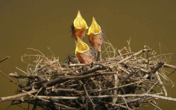 цыпочка, nest, птица, птичка