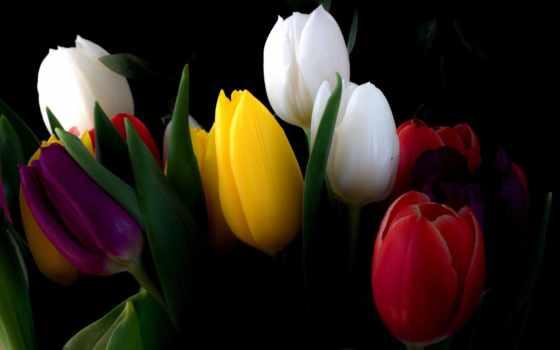цветы, букет, тюльпаны, широкоформатные,
