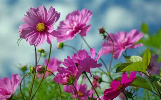 красивые, cvety, красавица, summer, зелёный, космея, природа, белая,