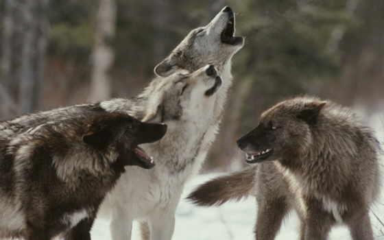 loup, les, pour