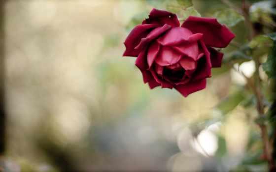 cvety, роза