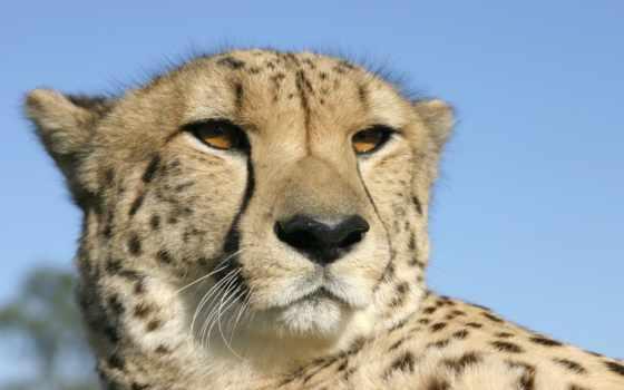 гепард, голова
