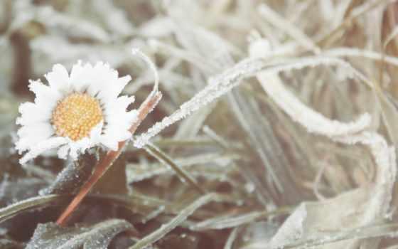 ромашка, цветок