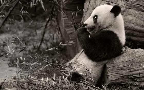 животные, панды, медведи