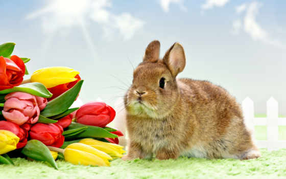 tulpen, кролик, hintergrundbild