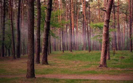 лес, trees, pine, сосны, туман,