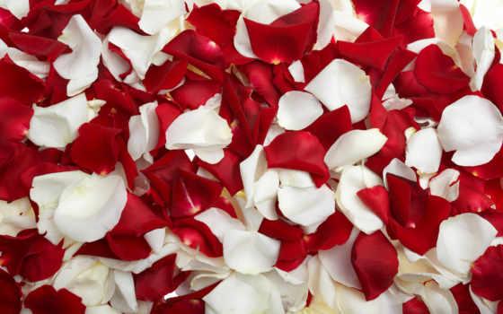 роз, лепестки, цветов, лепестков,