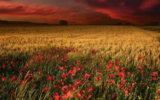 ди, stock, papaveri, campo, papoilas, trigo, grano, vista, frumento, fotografia,
