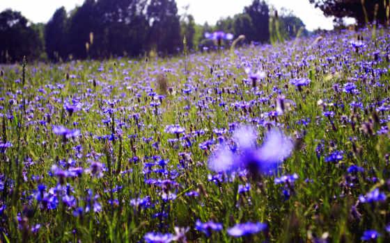 васильки, cvety, природа, поле, summer,
