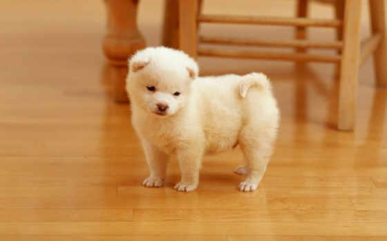 чау, щенок,, настроения, хорошего, щенки, собак,