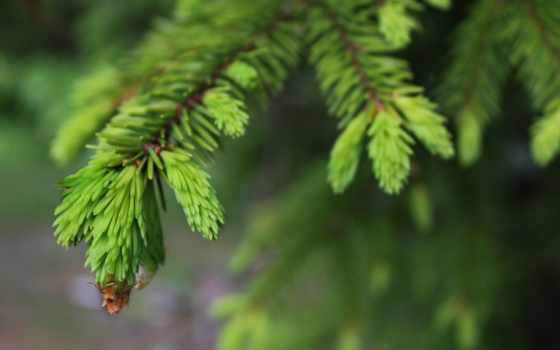 хвоя, нота, природа, лес, branch, iphone, фон, еловый, fir, permission