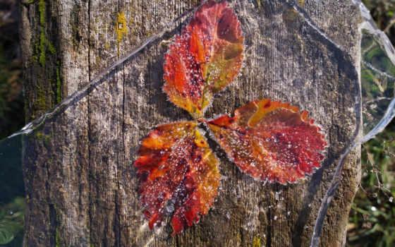 макро, заморозки, первые, листья, осень, лед,