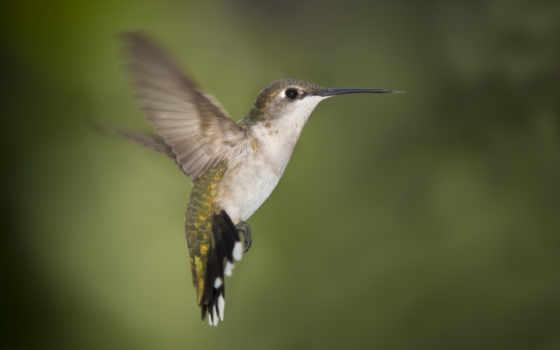 колибри, птица, птиц