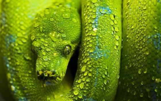 snake, змеи, змей, desktop, snakes, голова, шкала, зелёный, искуситель,