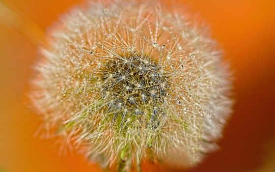 одуванчик, cvety, одуванчики, печатьобоев, роса, поляна, fluff,