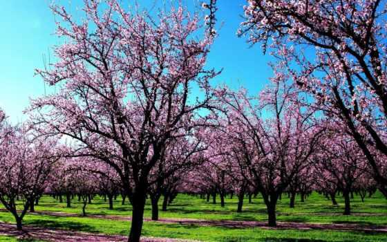 trees, цветущие, весна, трава, цветение, garden, cvety, плантация, детей,