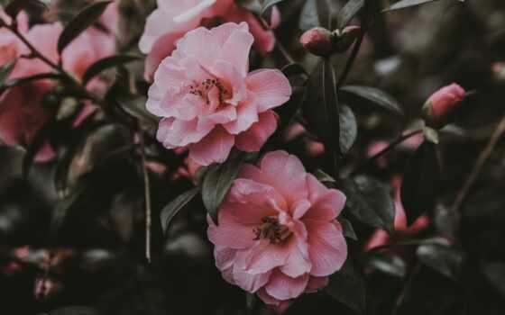 cvety, роза, розовый, красивый, wild, prev, фото, mobile, color, фон