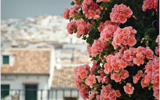 герань, цветы, лепестки, розовая,