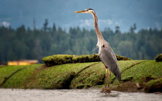 цапля, zhivotnye, цапли, птицы, природа, картинка, птица, мох, две,