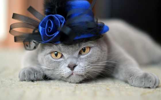 kot, brytyjski, tapety