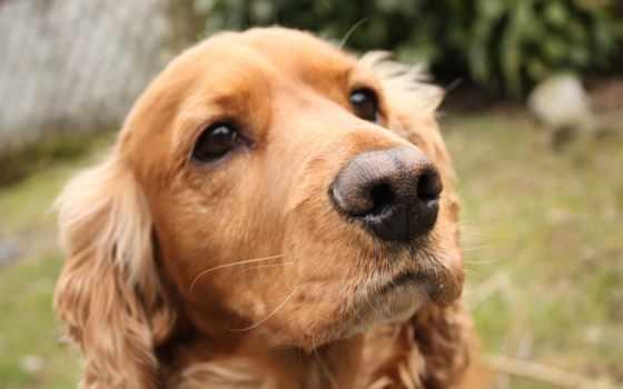 cocker, spaniel, english, породы, собак, спаниеля, спаниели, собака, description, щенка,