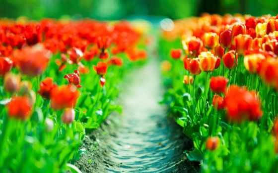 весна, года, изображение, тюльпаны, cvety, весенние, широкоформатные,