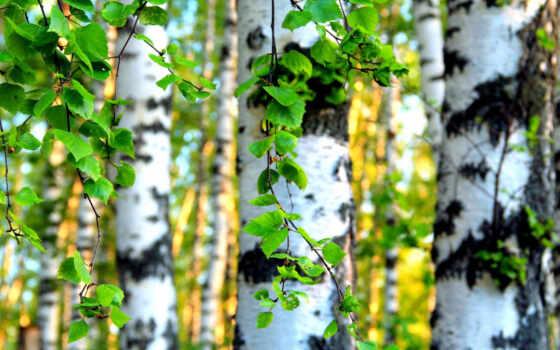 береза, лес, природа