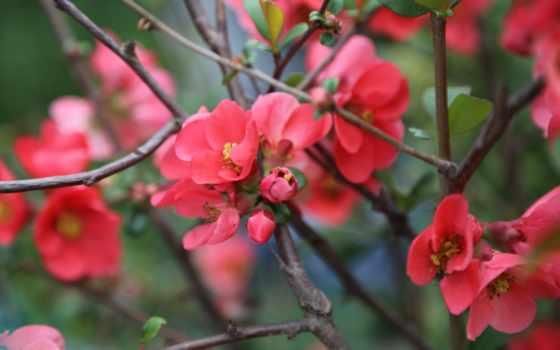 сад, розовый, природа
