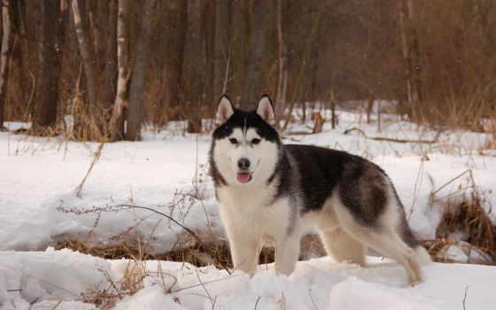 хаски, собаки, winter
