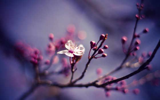 цветы, cherry, макро