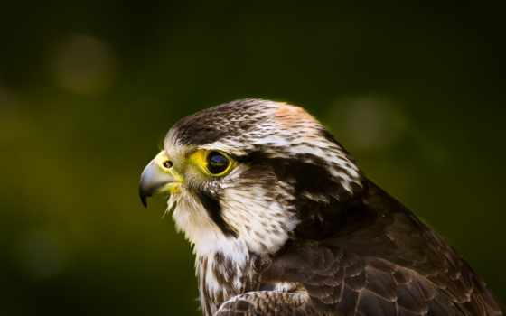 hawk, птица, хищник Фон № 149720 разрешение 3840x2160