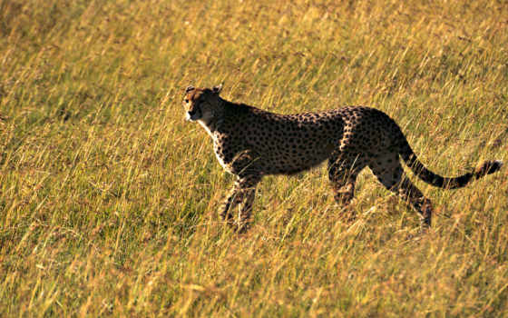 обоев, скачать, коллекция, картинку, картинка, en, animals, гепард, быстрый, зверь, aanimal,
