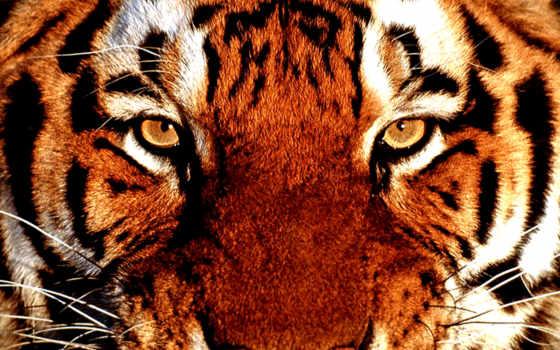 тигр, они, тигры