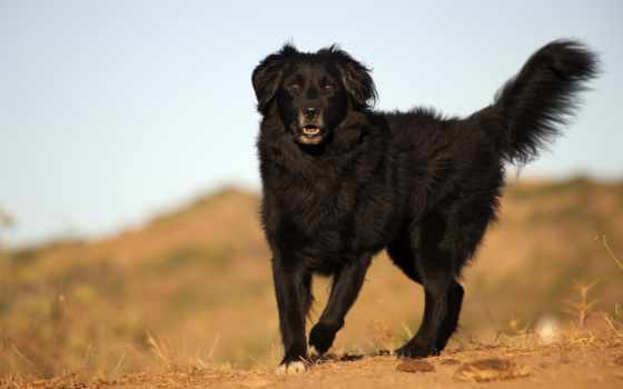 собака, black, взгляд, wallbox,